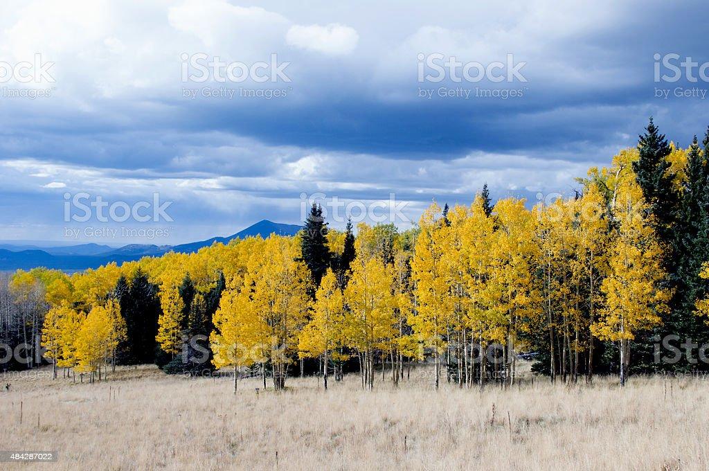 Aspen and Pine Trees stock photo