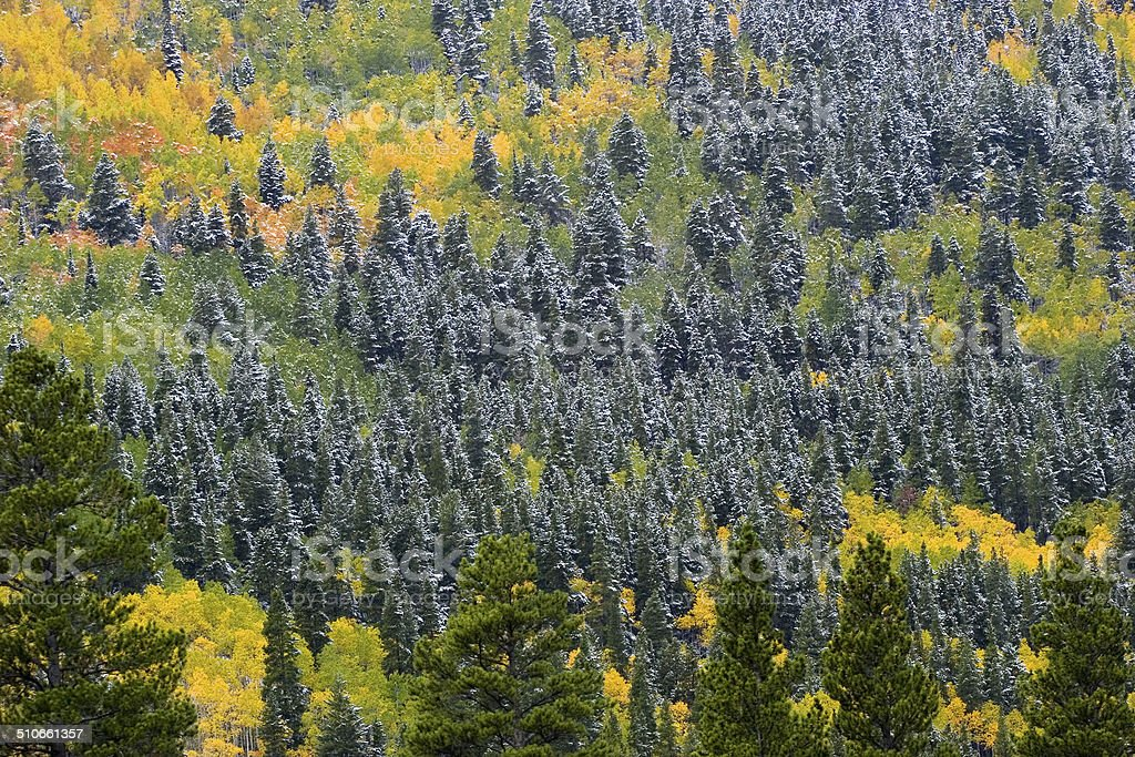 Aspen And Pine Trees With The First Snow stock photo