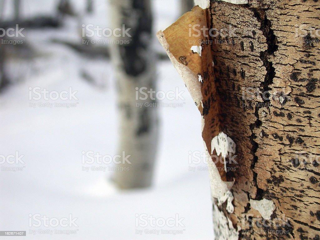 Aspen Closeup royalty-free stock photo