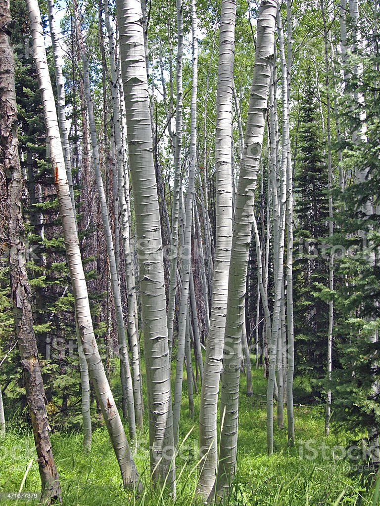 Top 60 Clump Of Quaking Aspen Trees Stock Photos Pictures And