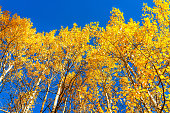 Aspen, Colorado maroon bells mountains in October 2019 and low angle view looking up at vibrant trees foliage autumn and sky