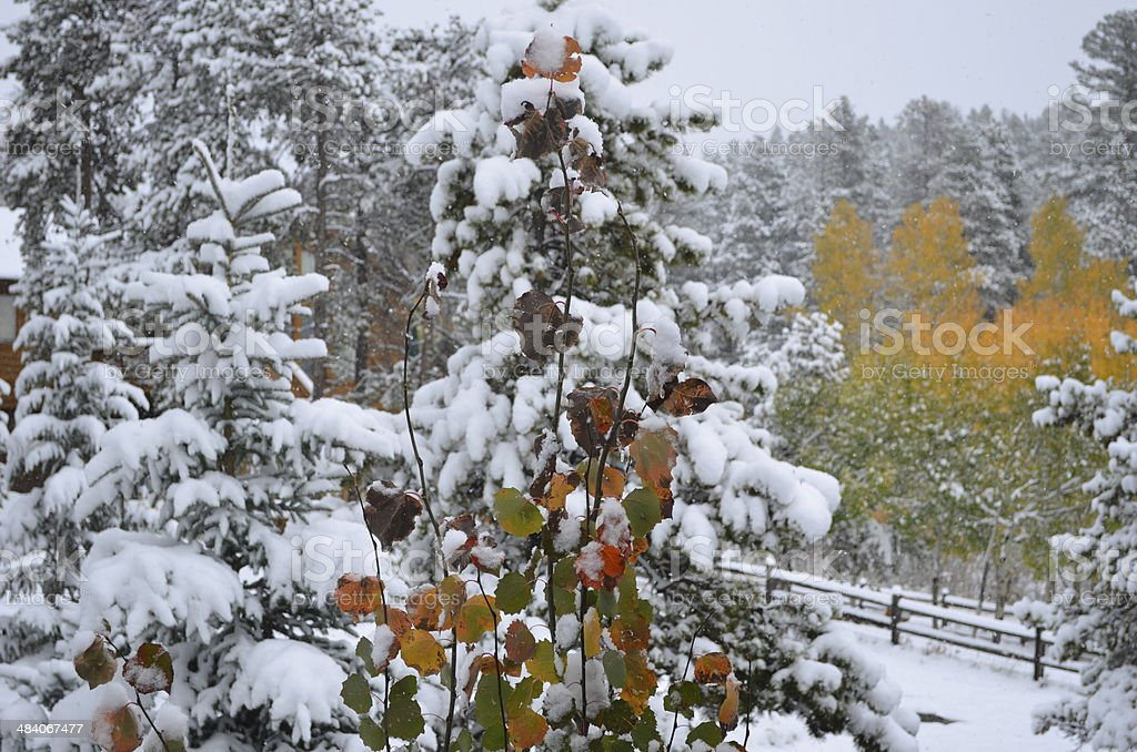 Aspen colors in Snowy Pines stock photo