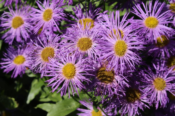 Aspen Fleabane flowers - Erigeron Speciosus stock photo