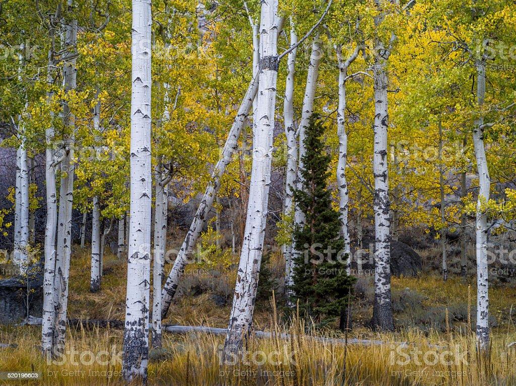 Aspen Forest Detail, Autumn, Lee Vining Canyon, California stock photo