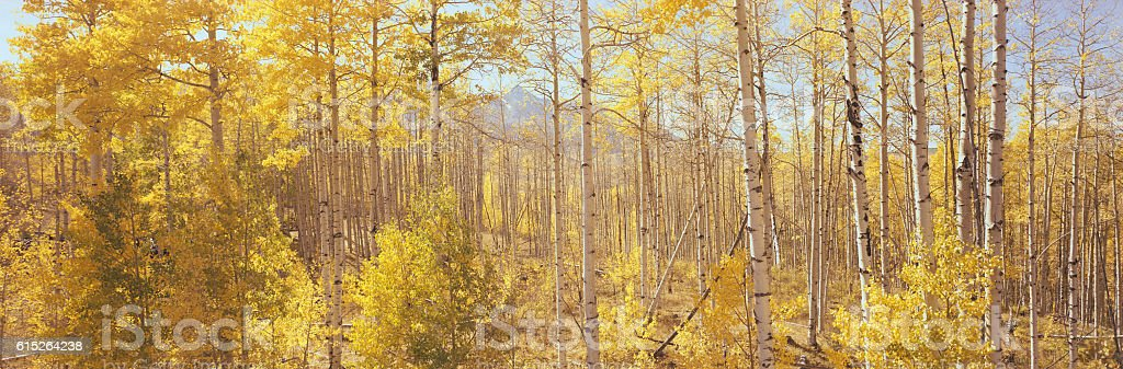 aspen forest in yellow autumn colors stock photo