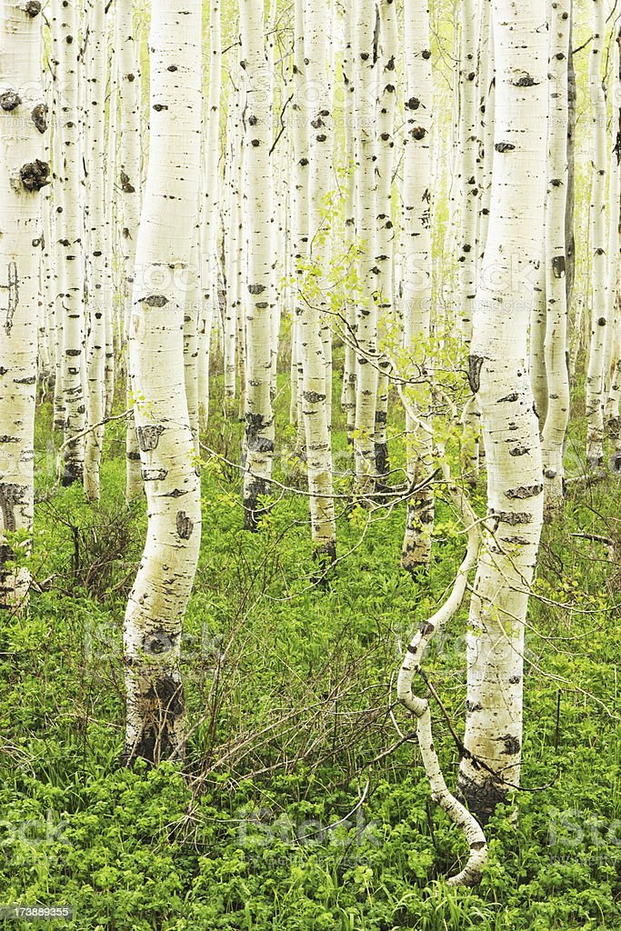 Aspen Forest Lush Wilderness Foliage royalty-free stock photo