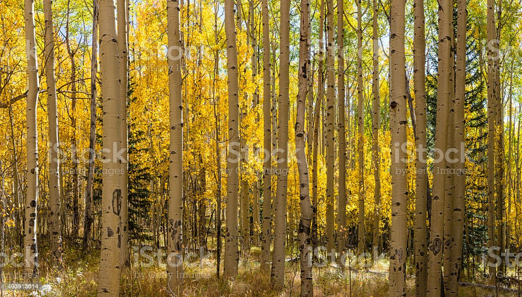 Aspen Forest Panorama stock photo
