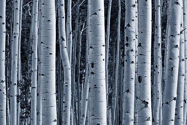 Aspen forest stock photo