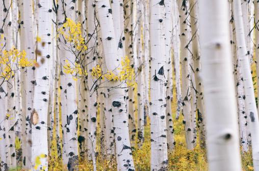 istock Aspen forest 510441899