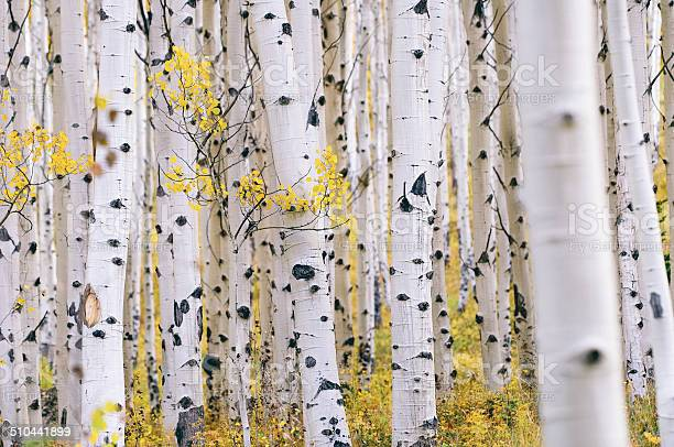 Photo of Aspen forest