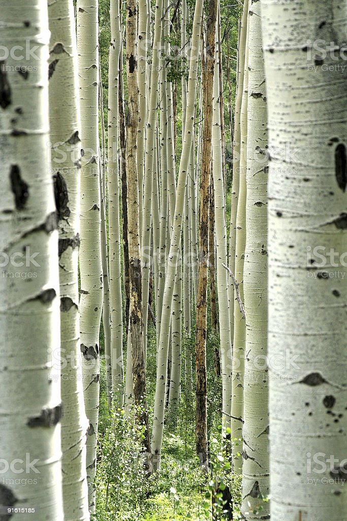 Aspen Forest royalty-free stock photo