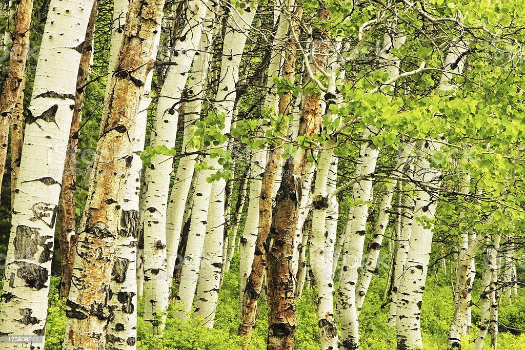 Aspen Forest Tree Bark Leaves royalty-free stock photo
