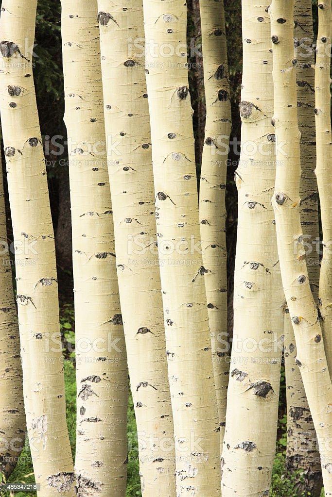 Aspen Forest Tree Trunk Bark stock photo