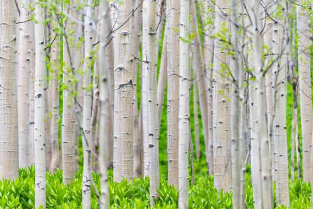 aspen waldbäume muster im sommer in snodgrass trail in mount crested butte, colorado in national forest park berge mit grüner farbe - wäldchen stock-fotos und bilder