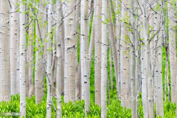 Photo of Aspen forest trees pattern in summer in Snodgrass trail in Mount Crested Butte, Colorado in National Forest park mountains with green color