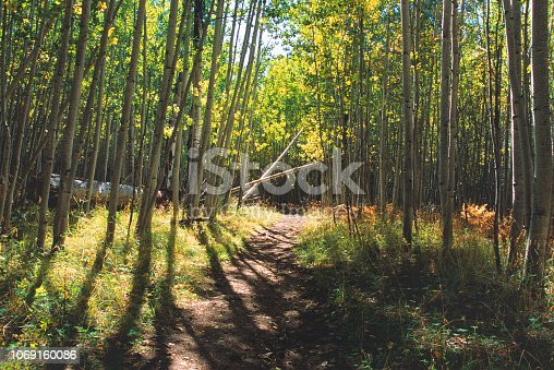 Aspen forest in wilderness area of northern Arizona mountains.  Near Flagstaff, Arizona, U.S.A.