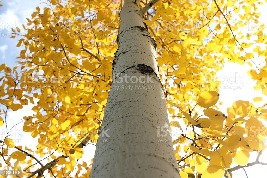 Aspen Glow in the Fall stock photo
