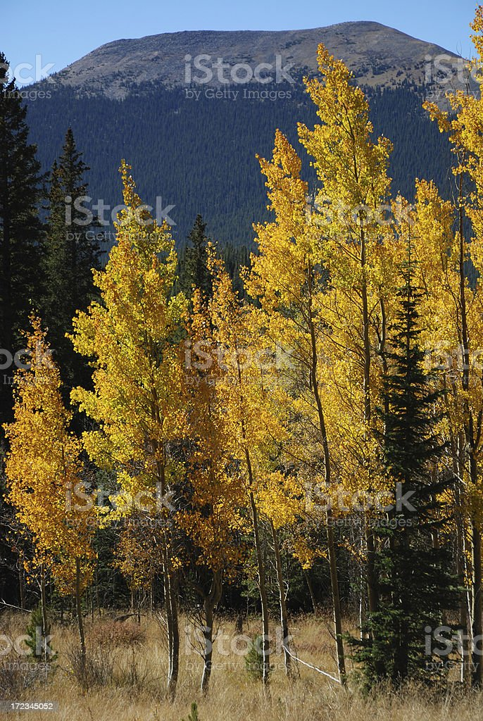Aspen Gold in the Rockies royalty-free stock photo