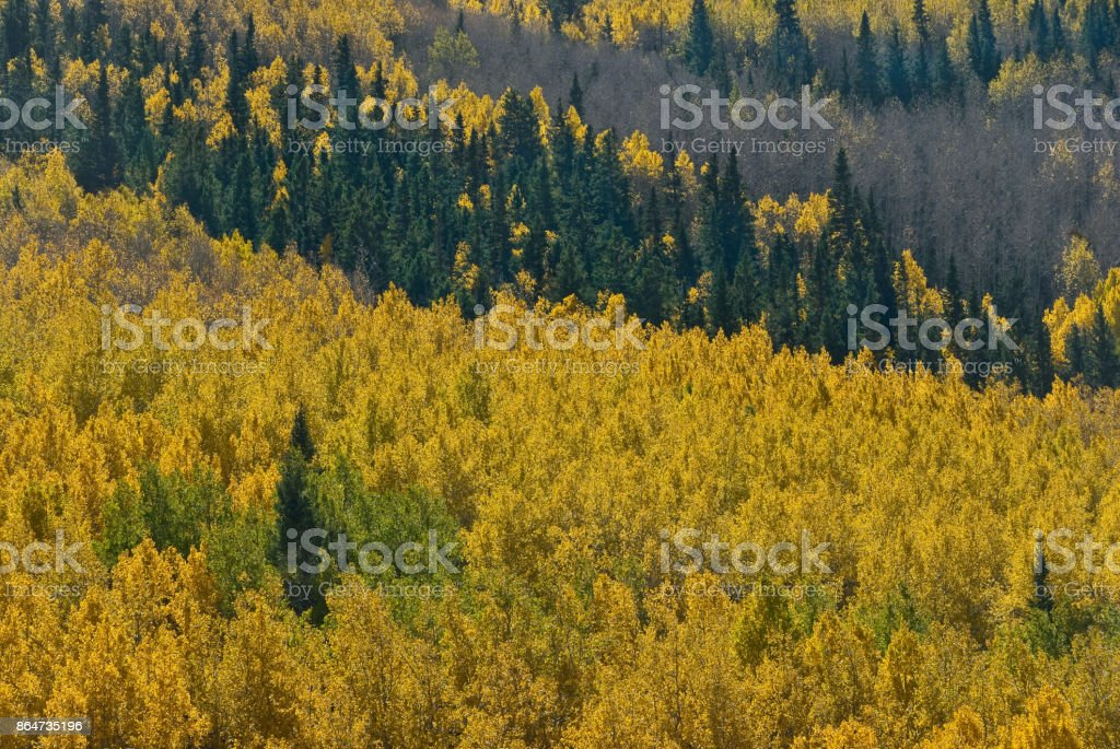 Aspen Grove from Above stock photo