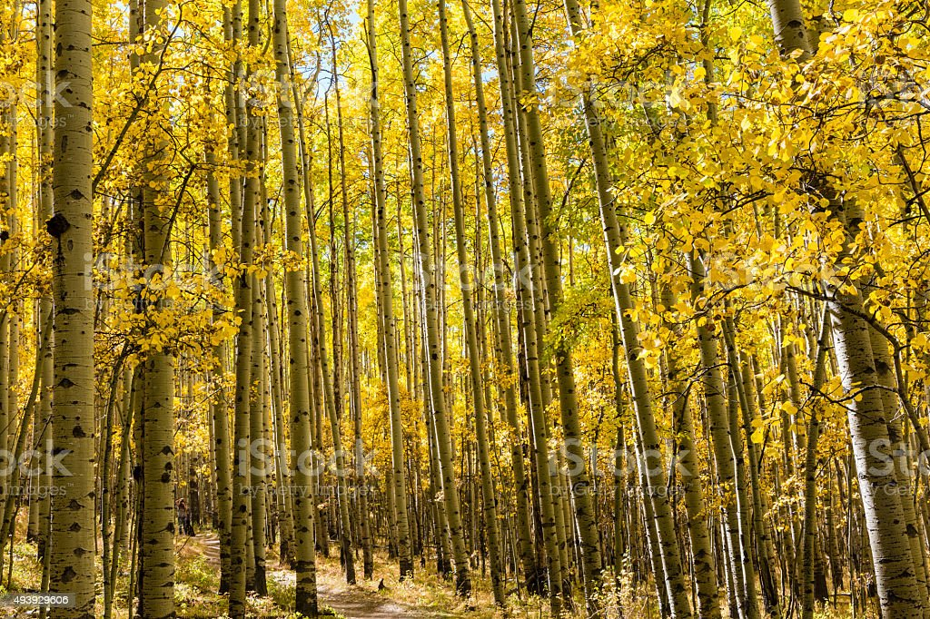 Aspen Grove in Autumn stock photo