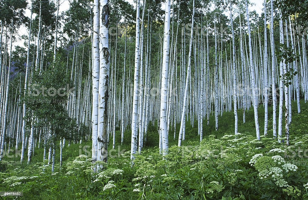 Aspen grove in Colorado Rocky Mountains stock photo
