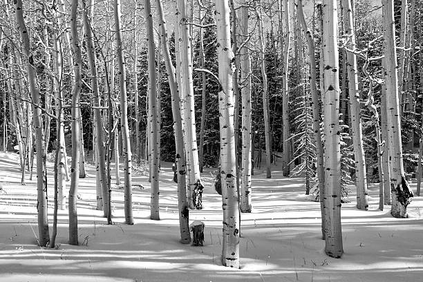 Aspen Grove in Winter stock photo