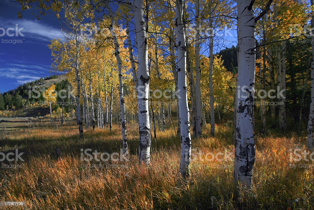 Aspen Grove in Wyoming, Autumn stock photo