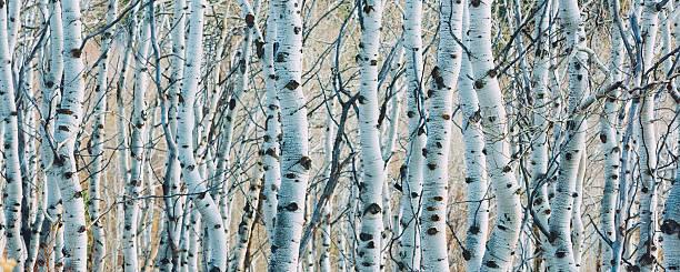 Aspen Grove Panoramic stock photo