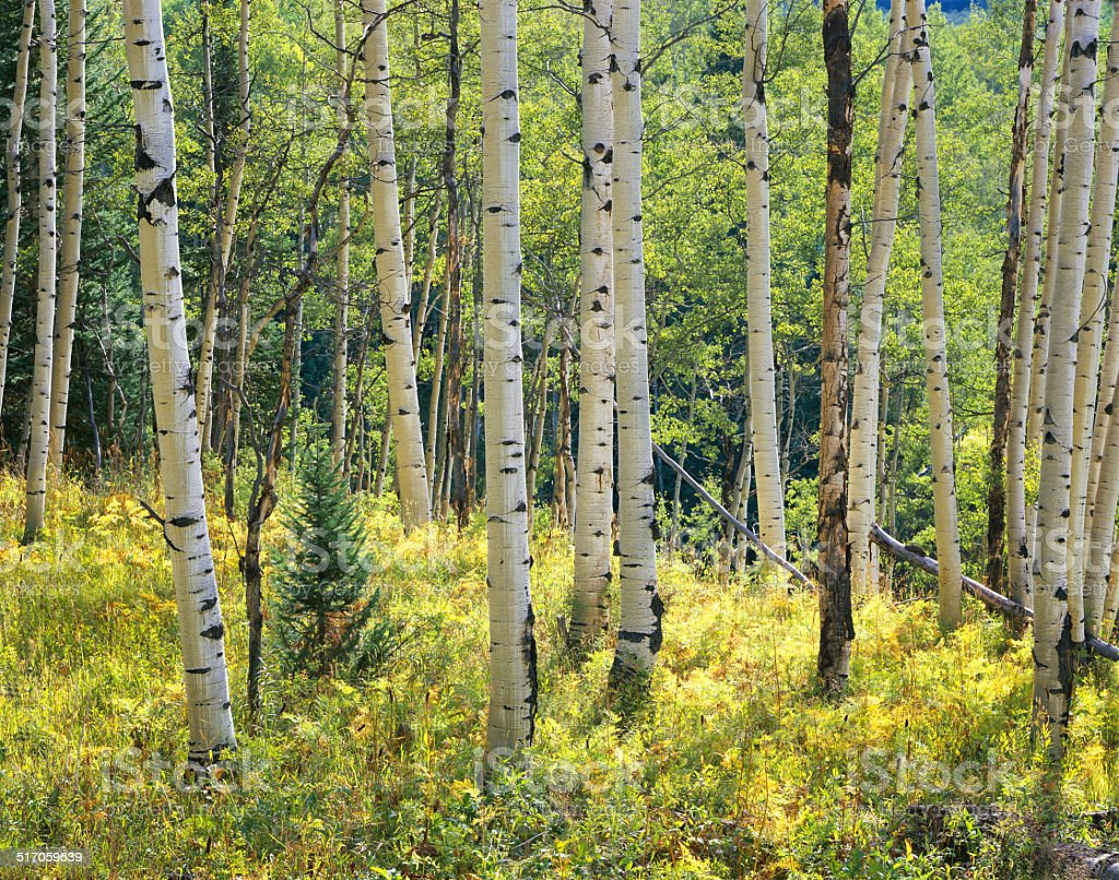 Aspen, Kebler Pass Colorado stock photo