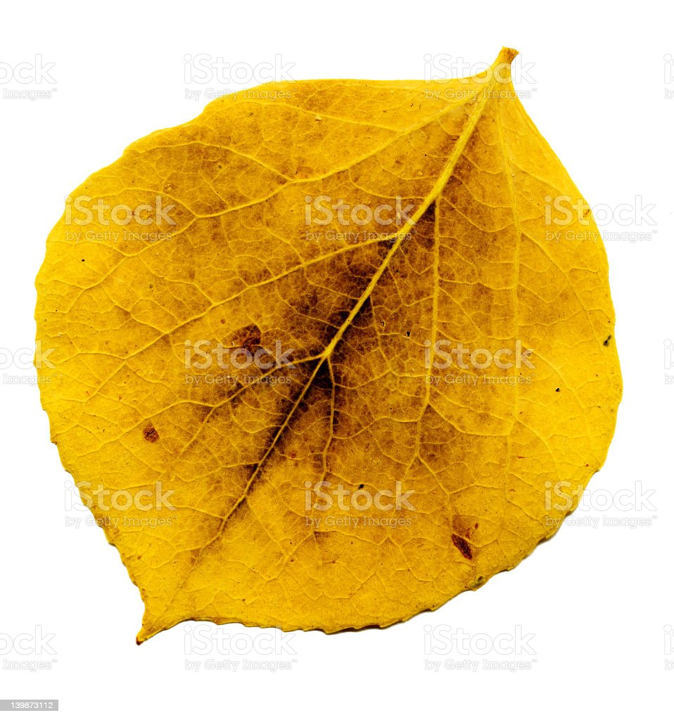 aspen leaf royalty-free stock photo