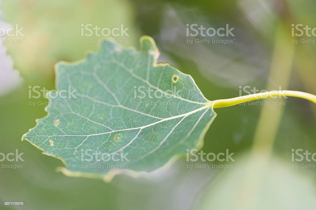 Aspen leaf (Populus tremula) stock photo