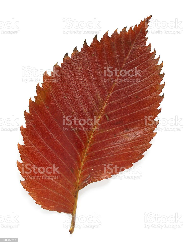 aspen leaf royalty-free stock photo