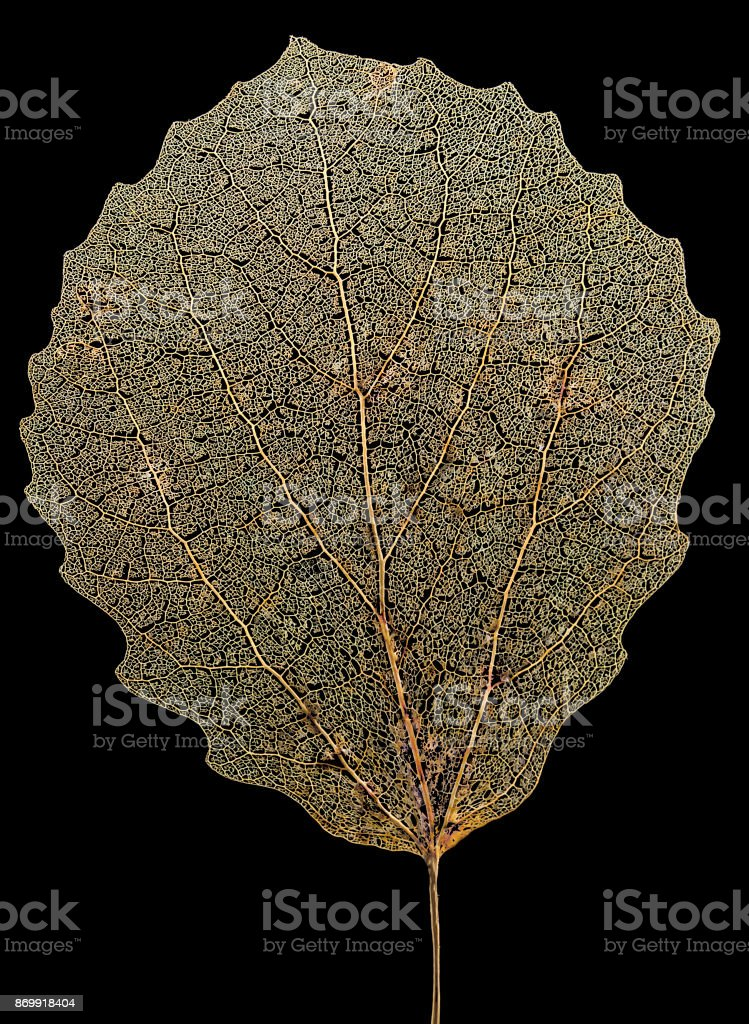 aspen leaf skeleton stock photo
