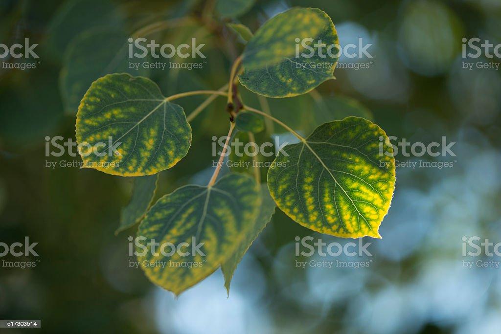 Aspen leaves background stock photo