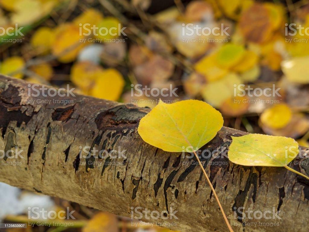 Aspen Leaves in an Aspen Grove stock photo