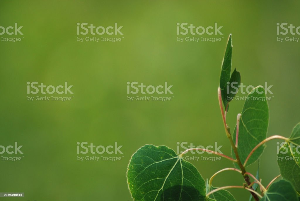 Aspen Leaves in Northern California. stock photo
