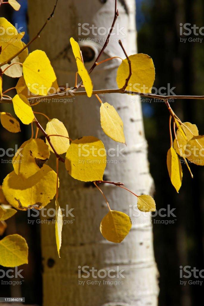 Aspen Leaves stock photo