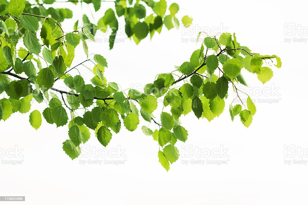 aspen leaves stock photo