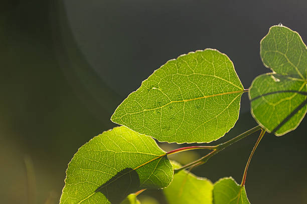 Aspen leaves Aspen leaves routt county stock pictures, royalty-free photos & images