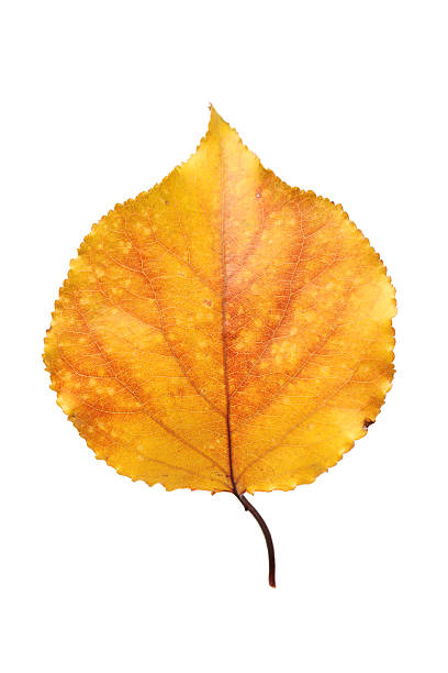 Royalty Free Aspen Leaf Pictures Images And Stock Photos