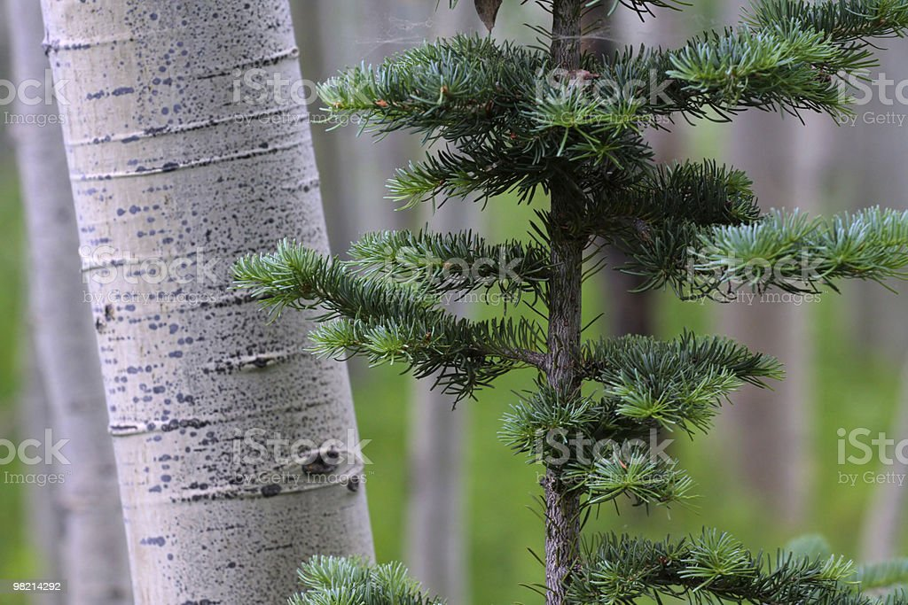 Aspen royalty-free stock photo