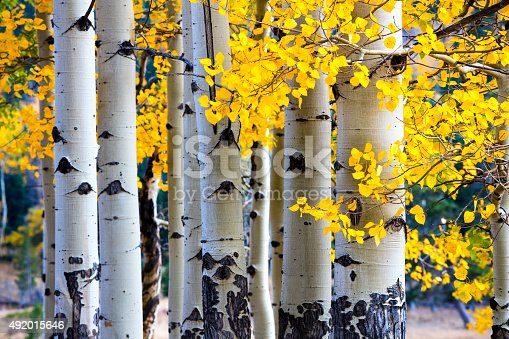 Aspen trees in the Rocky Mountain National Park during the fall.