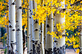 Aspen Tree Autumn