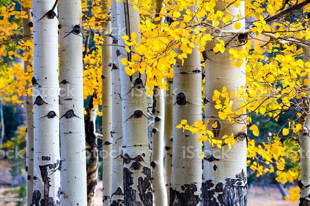 Aspen Tree Autumn stock photo