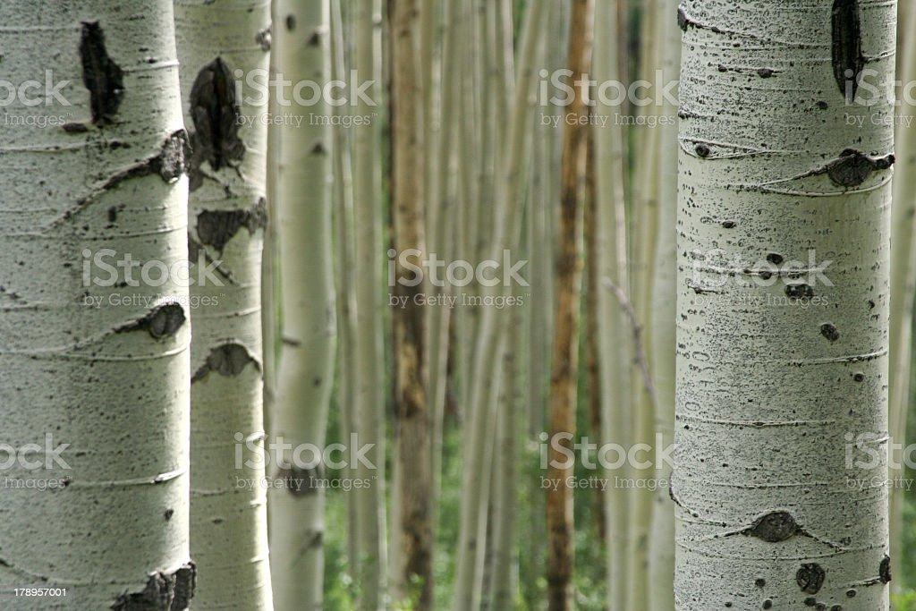Aspen tree bark close up stock photo