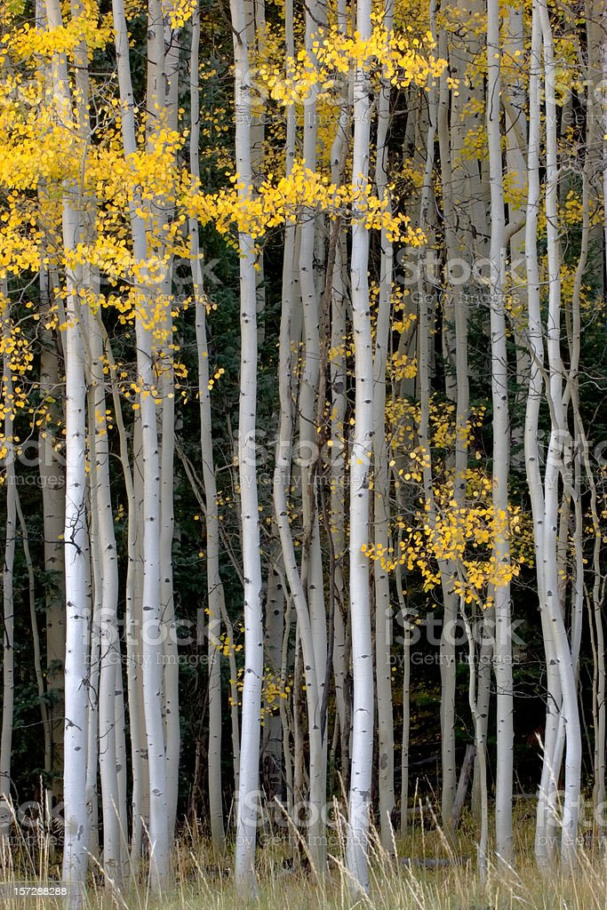 Aspen Tree Grove in Autumn Leaves royalty-free stock photo