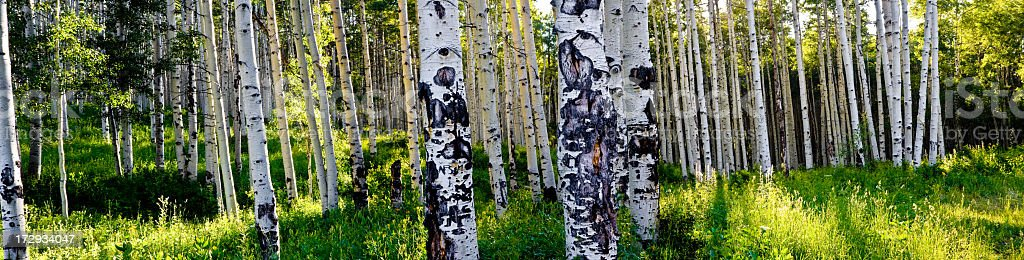 Aspen Tree Grove Panorama stock photo
