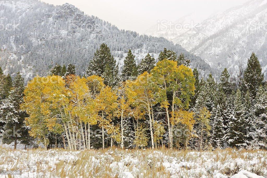 Aspen Tree Grove Winter Snow Storm stock photo