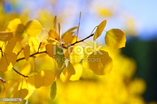 Aspen Tree Leaves Autumn Fall Color Background Bokeh