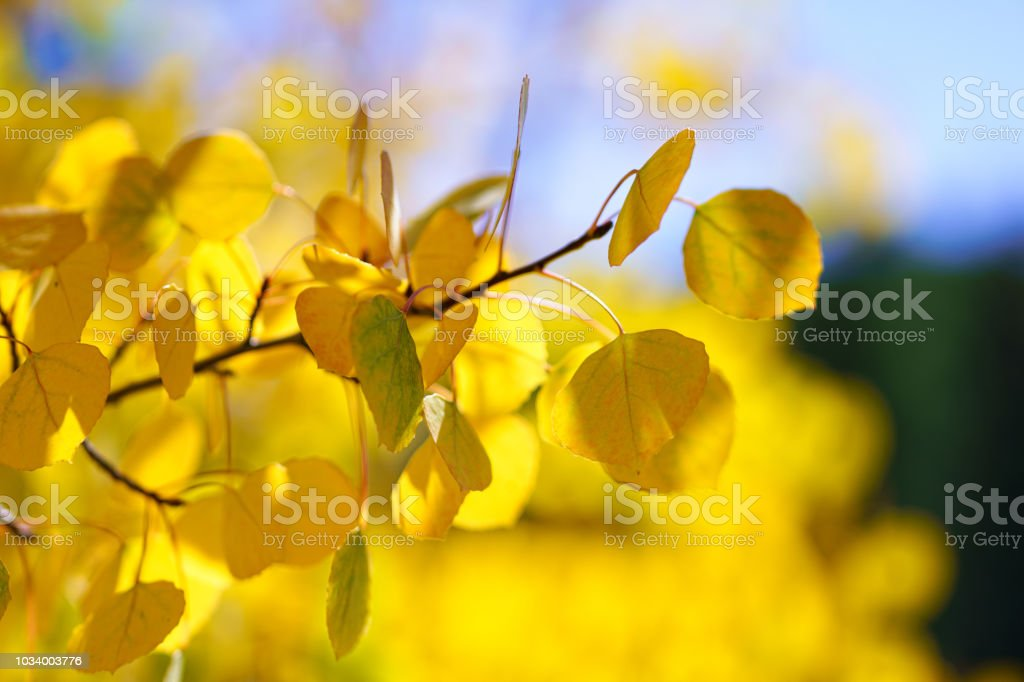 Aspen Tree Leaves Autumn Fall Color Background Bokeh stock photo
